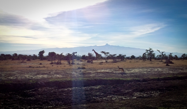 Jackal and giraffe in Ol Pejeta Conservancy with Mount Kenya in the background.